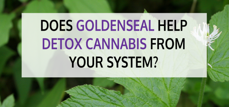 Does Goldenseal Help Detox Cannabis from Your System?