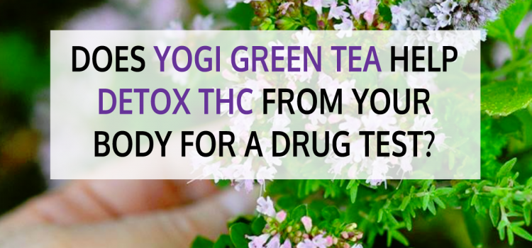 Does Yogi Green Tea Help Detox THC from Your Body for a Drug Test?