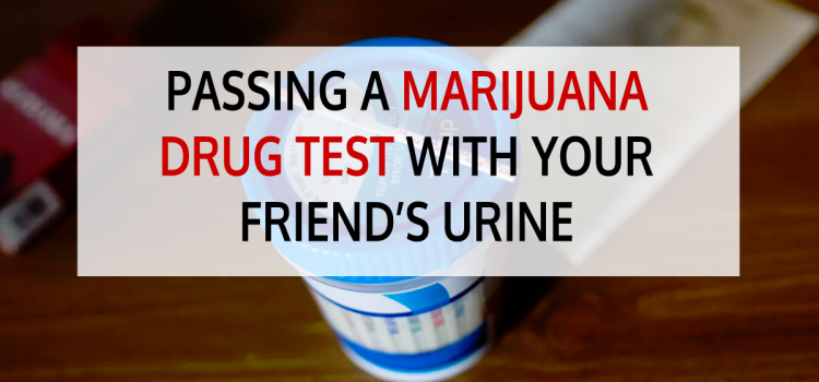 Passing a Marijuana Drug Test Using Your Friend's Urine